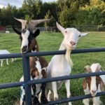 Derrick, Sugar, Henry & Friends at Red Robin Song Animal Sanctuary