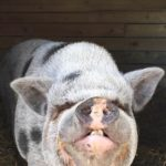 Wilby from Happy Trails Farm Animal Sanctuary