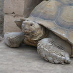 Tank from American Tortoise Rescue
