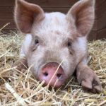 Cromwell the Magnificent from Blackberry Creek Farm Animal Sanctuary
