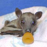 Bootsanna from Bat World Sanctuary