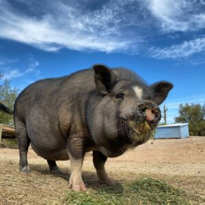 Shelley from Ironwood Pig Sanctuary