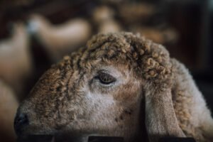 can wool be ethical?