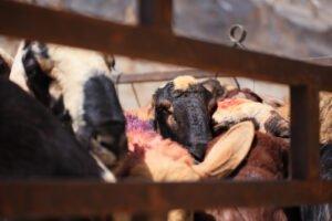 can vegans wear wool?
