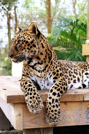 Armani Big Cat Rescue
