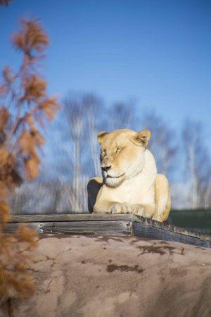 Sofi The Wildcat Sanctuary