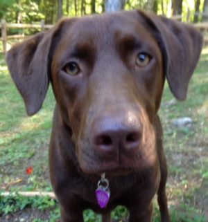 Sophie from New England Lab Rescue